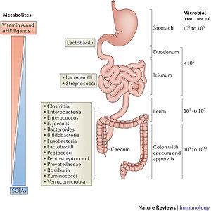 SIBO (Small Intestinal Bacterial Overgrowth). colon bacteria